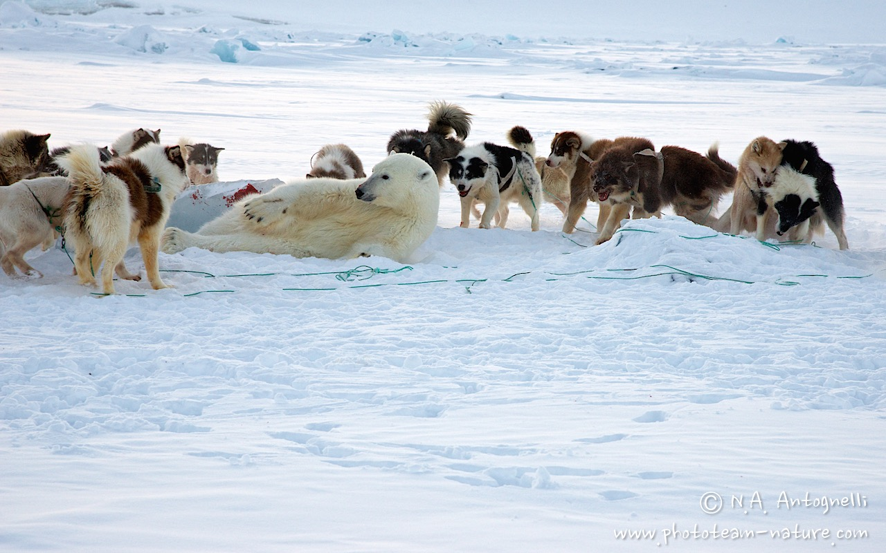 www.phototeam-nature.com-antognelli-groenland-greenland-nanoq-polar bear-ours polaire-hunting-chasse