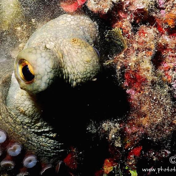 www.phototeam-nature.com-antognelli-poulpe