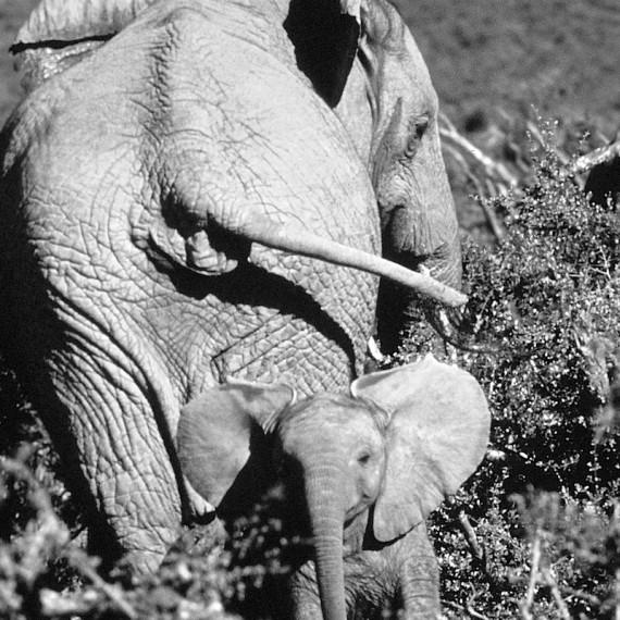 www.phototeam-nature.com-antognelli-afrique du sud-elephant