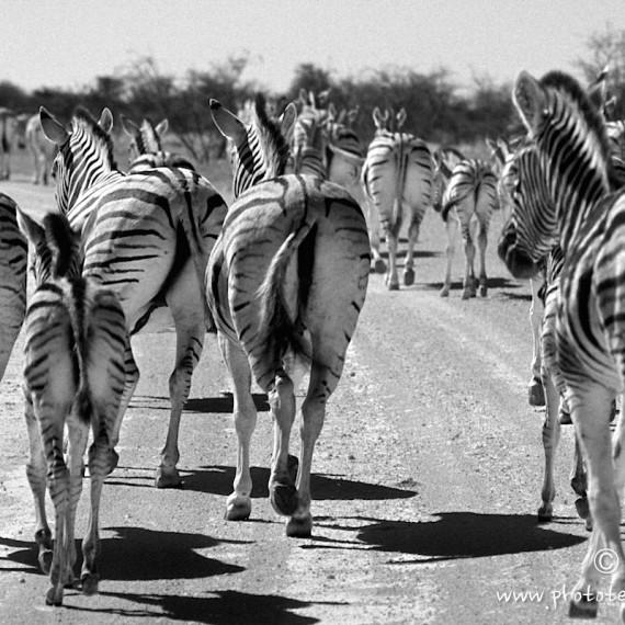 www.phototeam-nature.com-antognelli-afrique du sud-zebres
