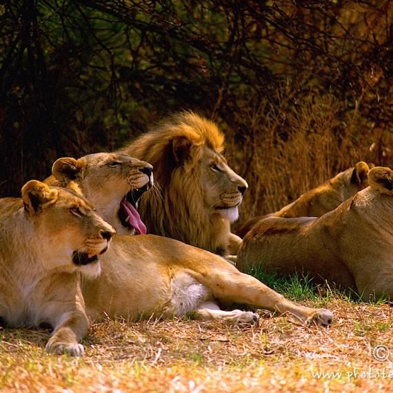 www.phototeam-nature.com-antognelli-afrique du sud-lion