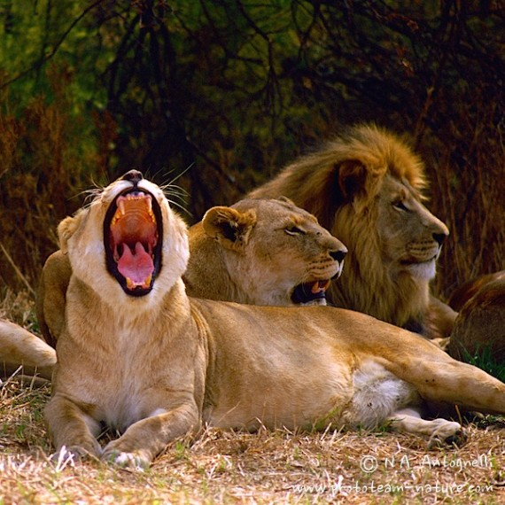 www.phototeam-nature.com-antognelli-afrique du sud-lions