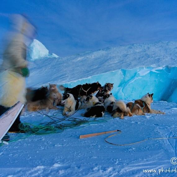 www.phototeam-nature.com-antognelli-groenland-greenland-nanoq-polar bear-ours polaire-hunting-chasse-traineau-chien-dog sleg-savissivik-phoque