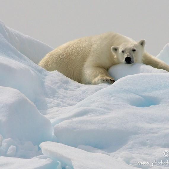 www.phototeam-nature.com-antognelli-greenland-nanoq-ours polaire-polar bear
