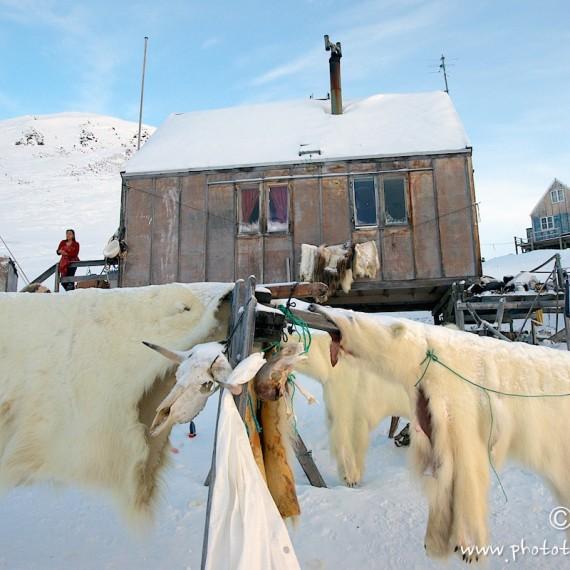 www.phototeam-nature.com-antognelli-groenland-greenland-nanoq-polar bear-ours polaire-hunting-chasse-maison-savissivik