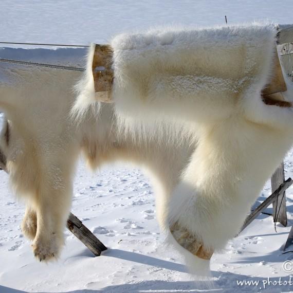 www.phototeam-nature.com-antognelli-groenland-greenland-nanoq-polar bear-ours polaire-pantalon-savissivik