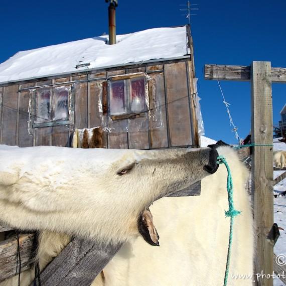 www.phototeam-nature.com-antognelli-groenland-greenland-nanoq-polar bear-ours polaire-maison-savissivik