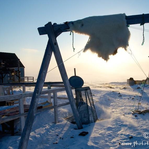 www.phototeam-nature.com-antognelli-groenland-greenland-nanoq-polar bear-ours polaire-savissivik