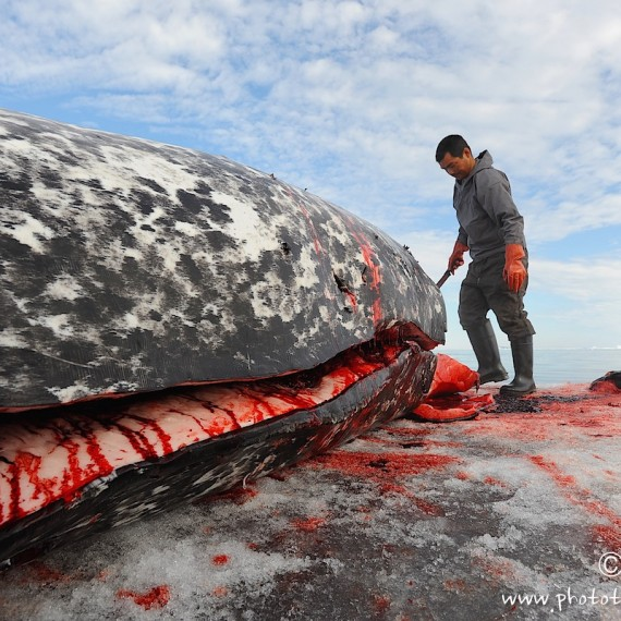 www.phototeam-nature.com-antognelli-groenland-greenland-narwhal-narval-chasse-hunting-kayak