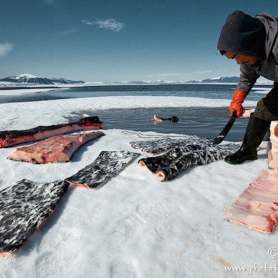 www.phototeam-nature.com-antognelli-groenland-greenland-narwhal-narval-chasse-hunting-kayak-mattak
