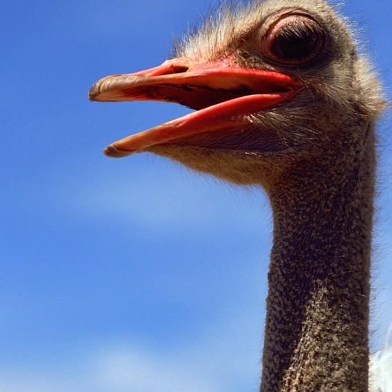 www.phototeam-nature.com-antognelli-afrique du sud-autruche