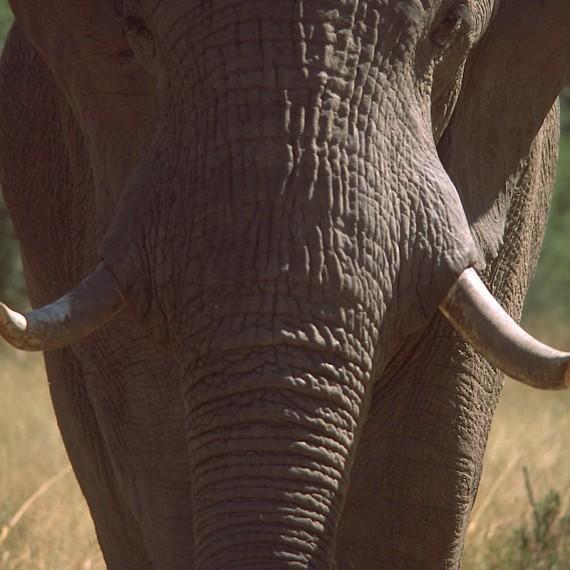 www.phototeam-nature.com-antognelli-afrique australe-elephant