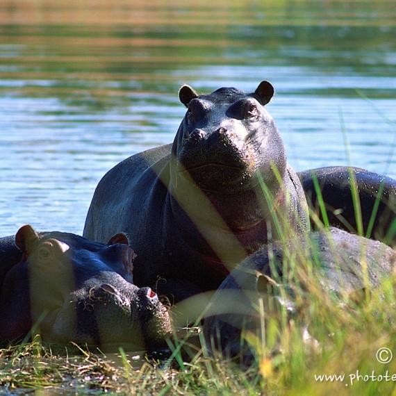 www.phototeam-nature.com-antognelli-afrique australe-hippopotame