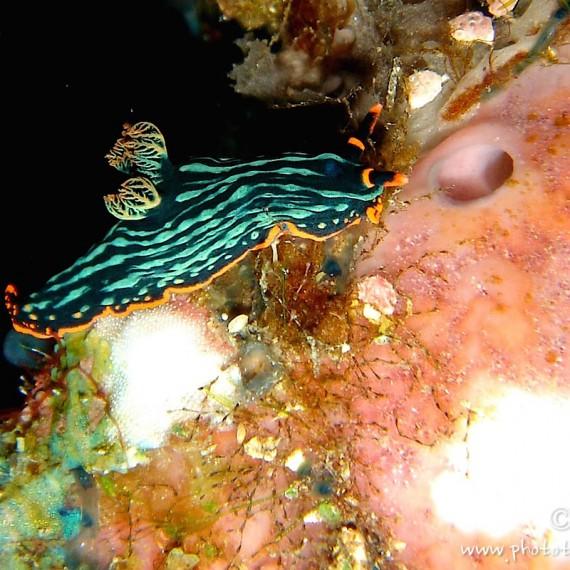 www.phototeam-nature.com-antognelli-Indonésie-manado