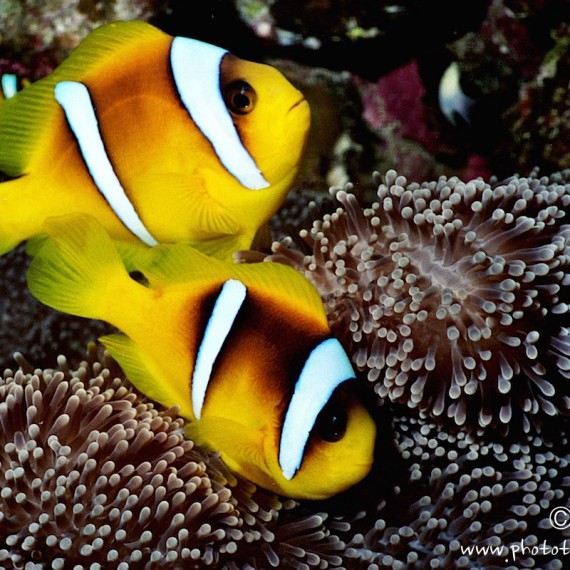 www.phototeam-nature.com-antognelli-egypte-mer rouge-poissons clown