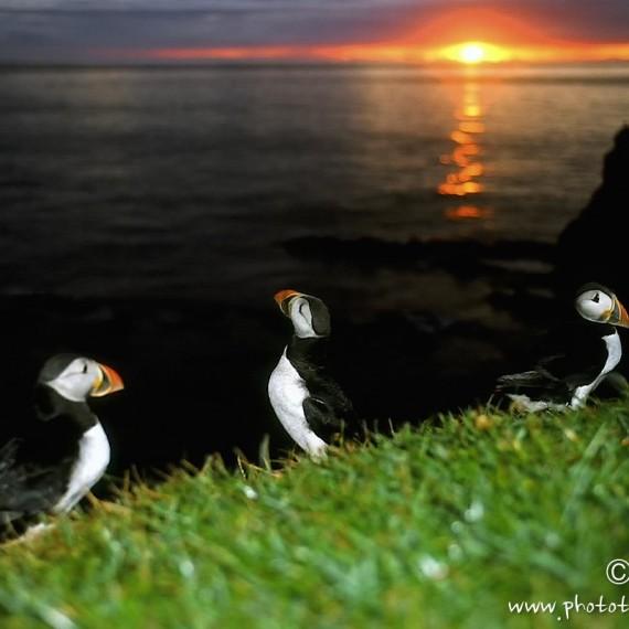 www.phototeam-nature.com-antognelli-iceland-islande-macareux-puffin