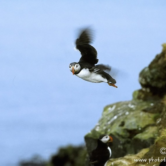 www.phototeam-nature.com-antognelli-iceland-islande-puffin-macareux