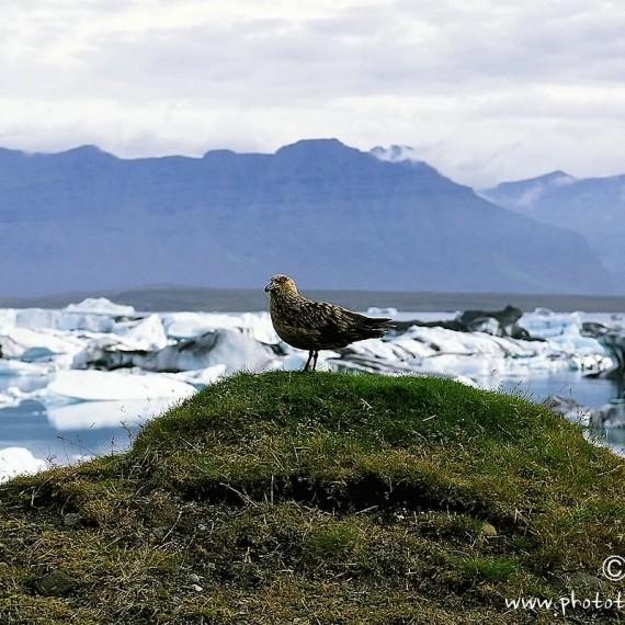 www.phototeam-nature.com-antognelli-iceland-islande-jokulsarlon-