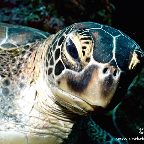 www.phototeam-nature.com-antognelli-indonesie-manado-tortue