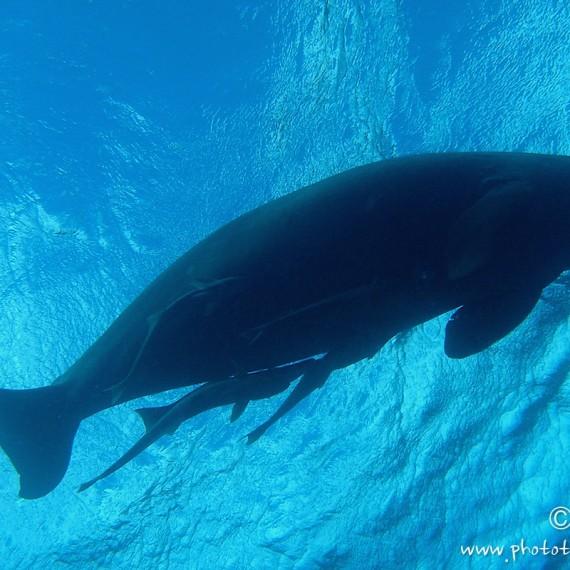 www.phototeam-nature.com-antognelli-mer rouge-lamantin