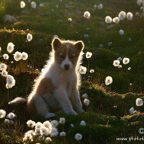 www.phototeam-nature.com-antognelli-greenland-dog