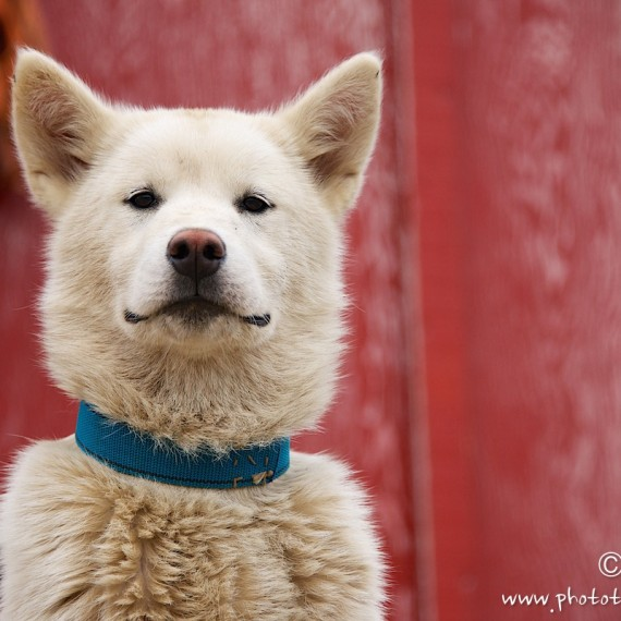 www.phototeam-nature.com-antognelli-greenland-dog