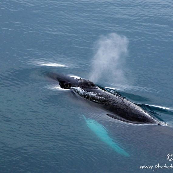 www.phototeam-nature.com-antognelli-greenland-baleine a bosses