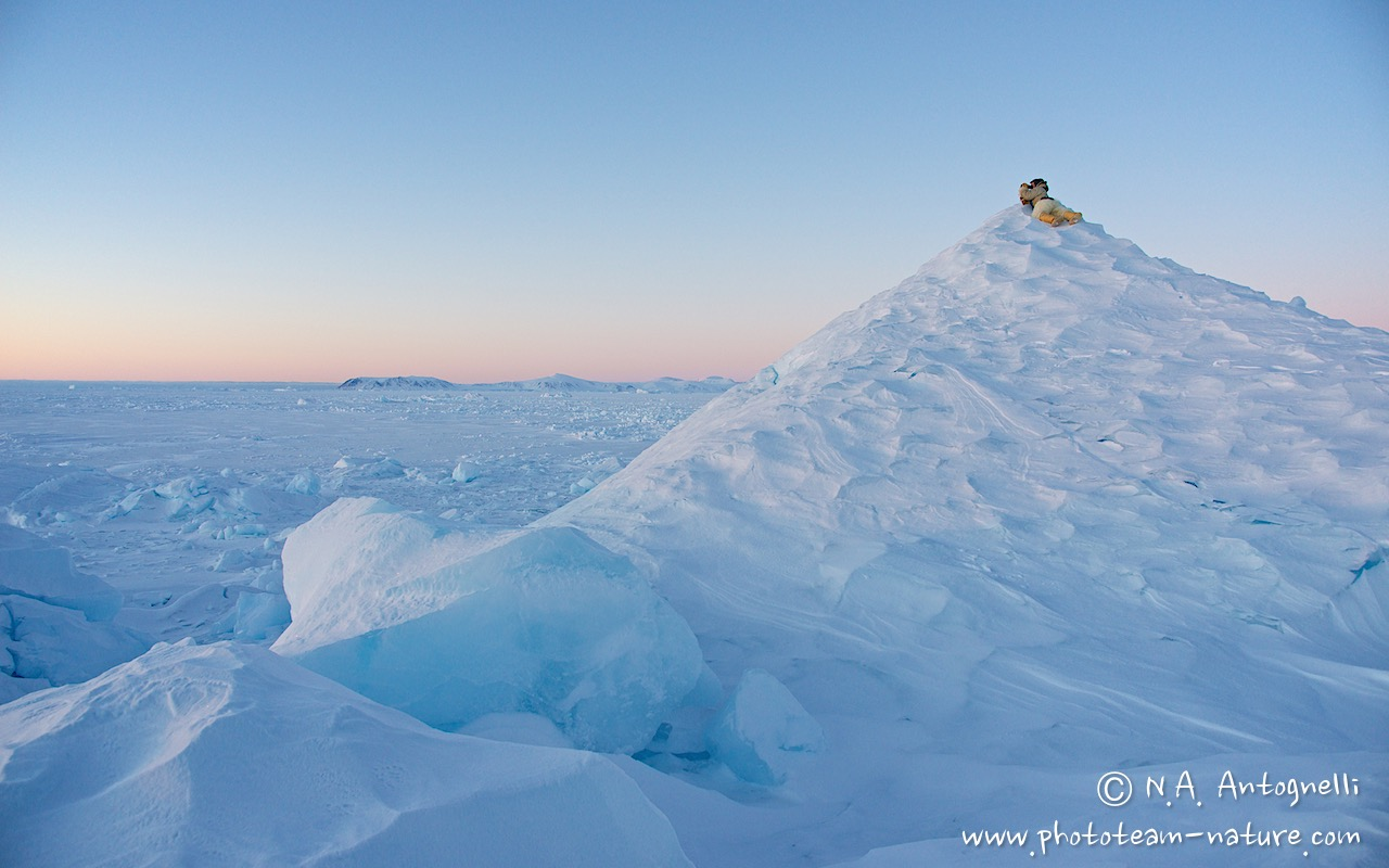www.phototeam-nature.com-antognelli-groenland-greenland-nanoq-polar bear-ours polaire-hunting-chasse-traineau-chien-dog sleg-savissivik