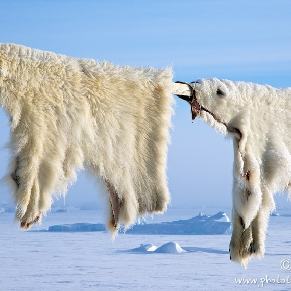 www.phototeam-nature.com-antognelli-groenland-greenland-nanoq-polar bear-ours polaire-hunting-chasse--savissivik