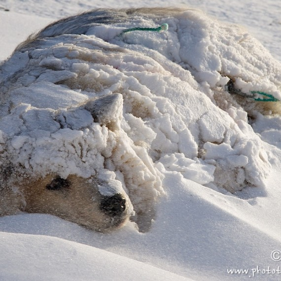 www.phototeam-nature.com-antognelli-groenland-greenland-nanoq-polar bear-ours polaire-hunting-chasse-traineau-chien-dog sleg-cap york