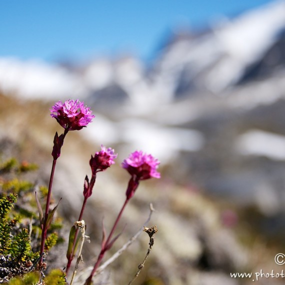 www.phototeam-nature.com-antognelli-greenland-kayak-expedition-flower