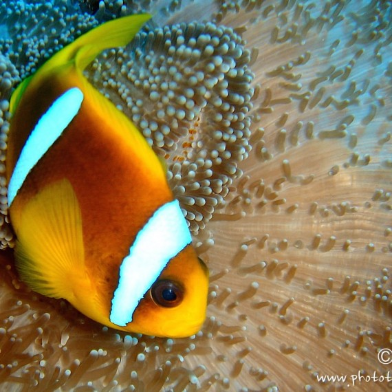 www.phototeam-nature.com-antognelli-soudan-poisson clown