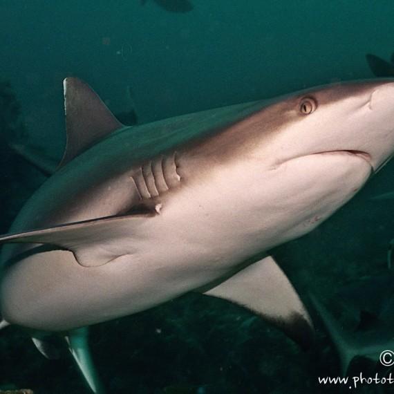 www.phototeam-nature.com-antognelli-soudan-requin