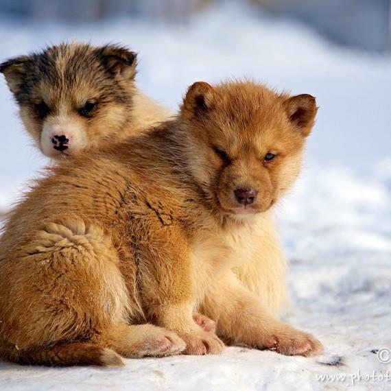 www.phototeam-nature.com-antognelli-greenland-nuussuaq-dogs