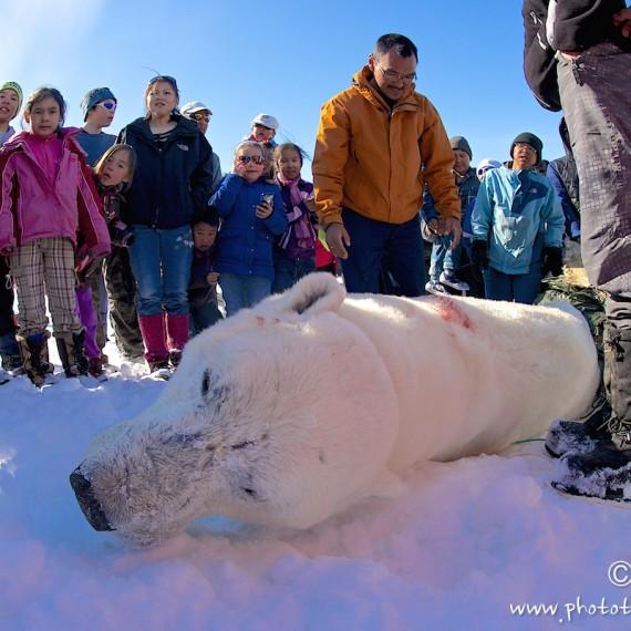 www.phototeam-nature.com-antognelli-greenland-nuussuaq-nanoq-polar bear-hunting