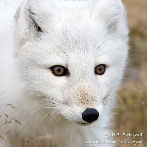 www.phototeam-nature.com-antognelli-greenland-polar fox