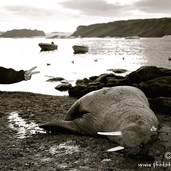 www.phototeam-nature.com-walrus-greenland-antognelli-
