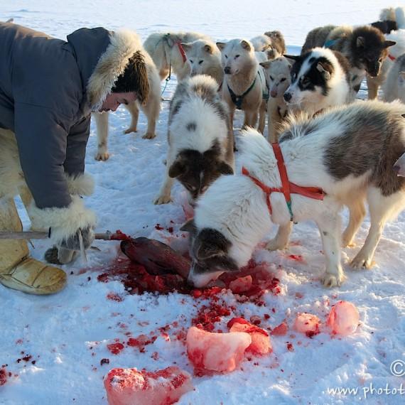 www.phototeam-nature.com-antognelli-groenland-greenland-l'ame de la banquise-chiens-traineau-banquise-dog sled-phoque-seal