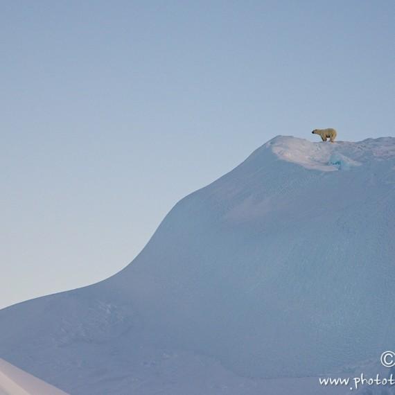 www.phototeam-nature.com-antognelli-groenland-greenland-savissivik-ours polaire-polar bear-nanoq
