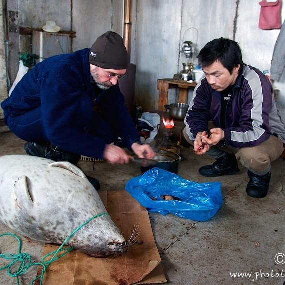 www.phototeam-nature.com-antognelli-groenland-greenland-savissivik-phoque-ours polaire-polar bear-nanoq